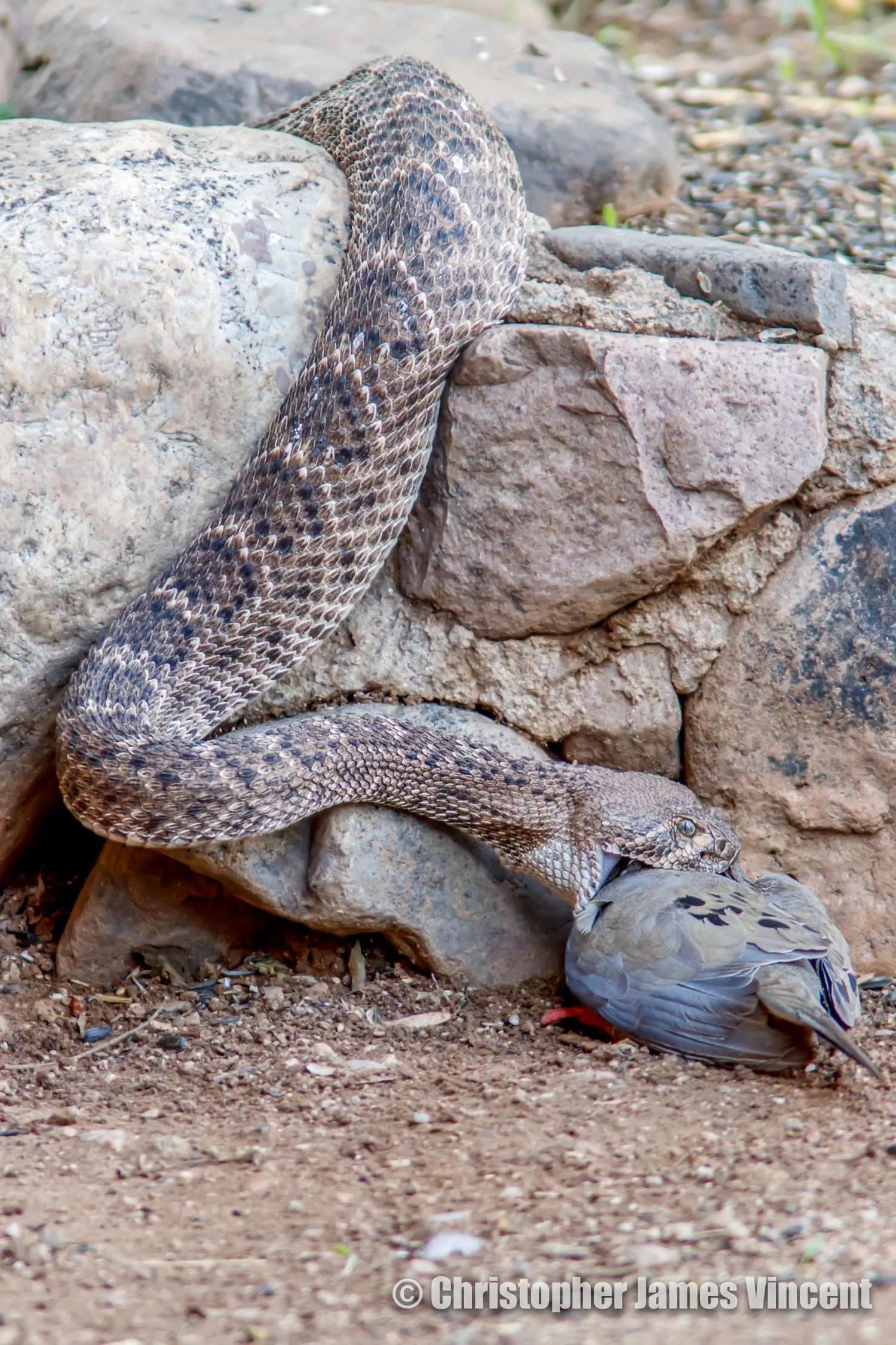 Snake having dinner