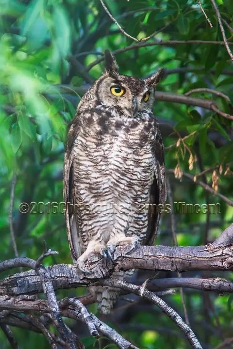 Louisa, the Great Horned Owl