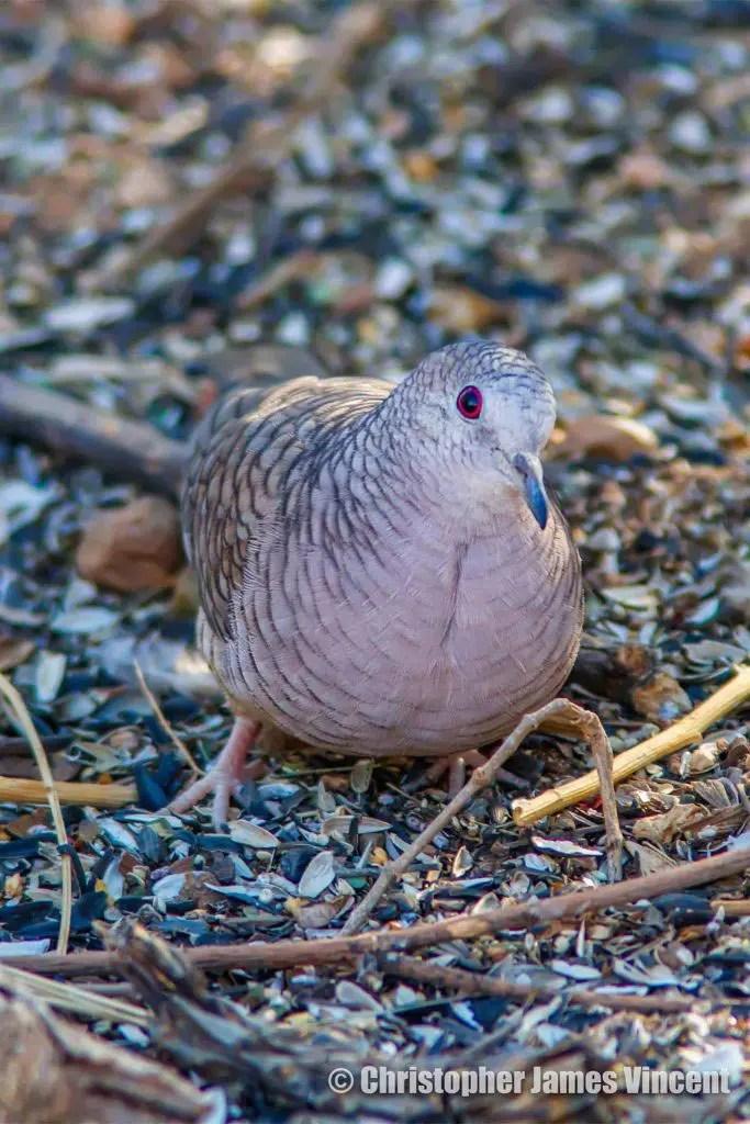 Inca Dove - residents here