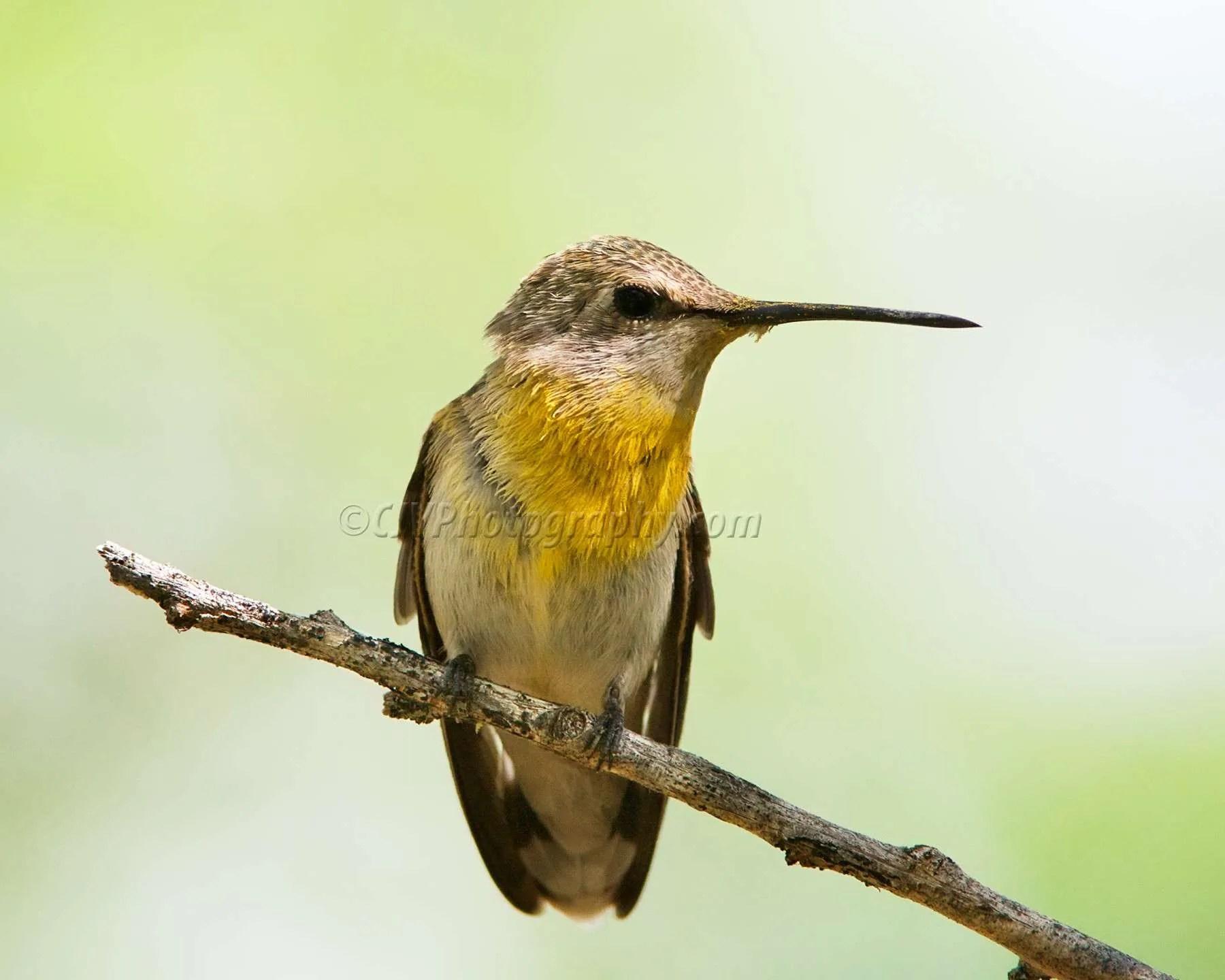 Costa's Hummingbird with Pollen