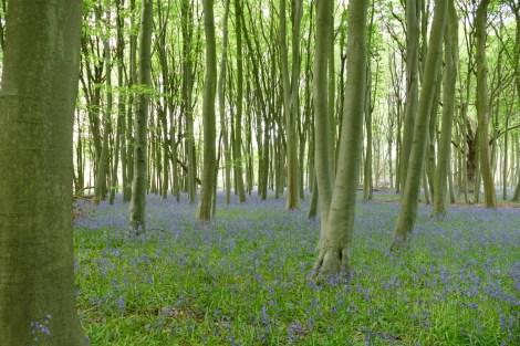 Ein Meer von Blue Bells (dt. Englisches Hasenglöckchen) in den Wytham Woods bei Oxford