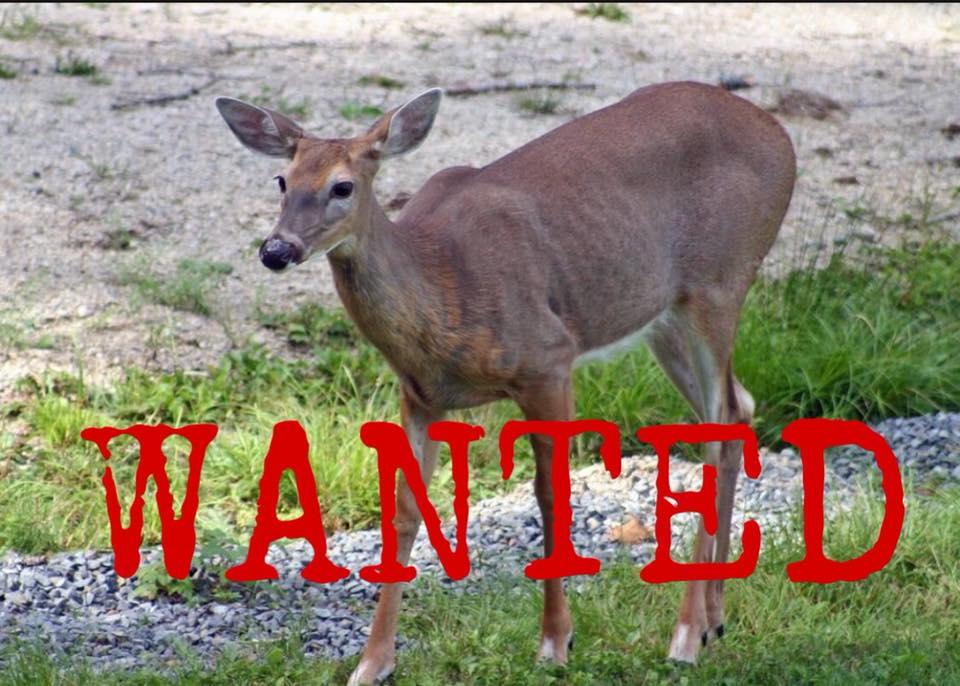 deer invader_1525179570028.jpg-794306118.jpg