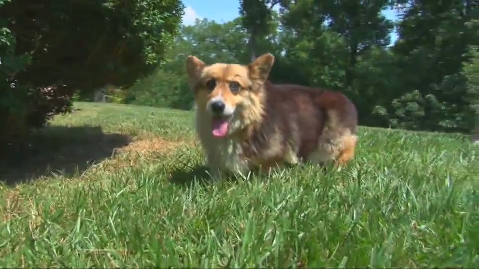 Corgi Finds His Way Home And to Internet Fame