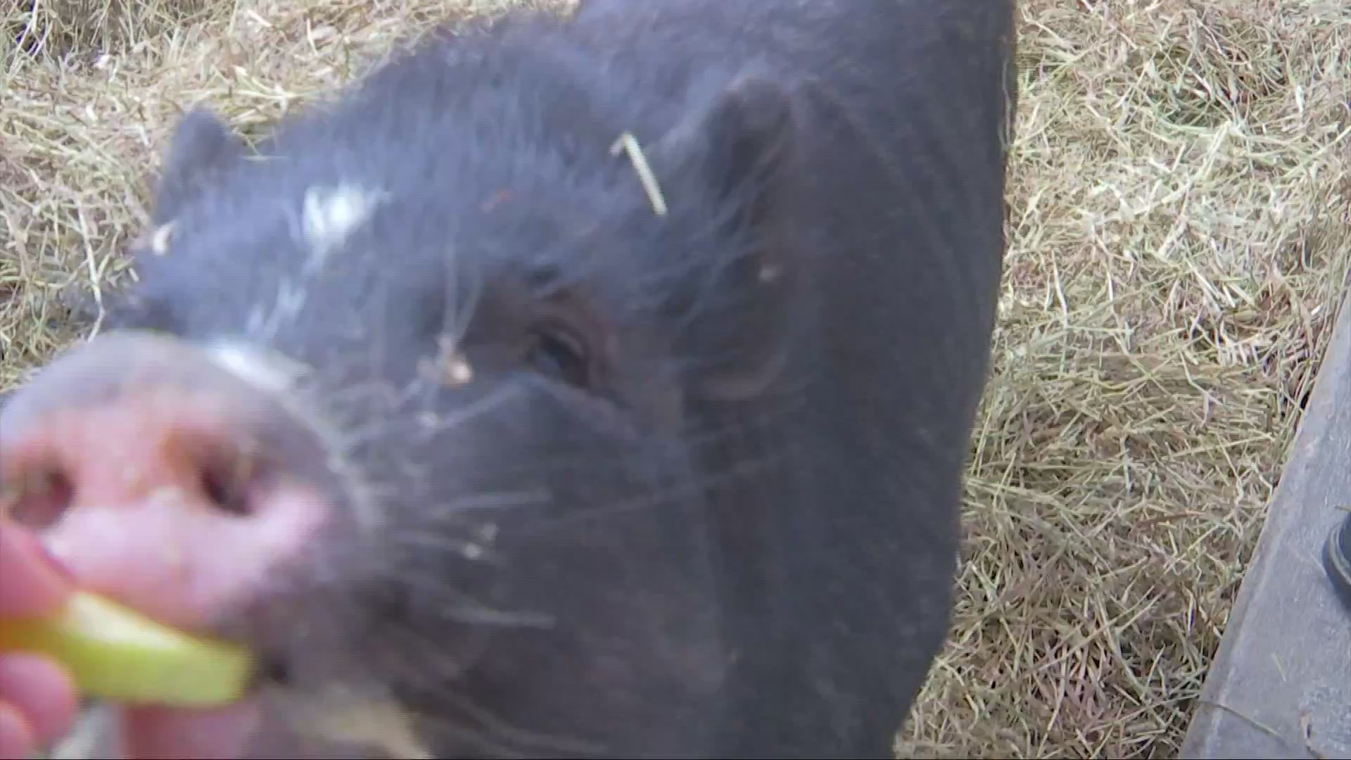 St. Albans Hosts First Ever PigPig Festival