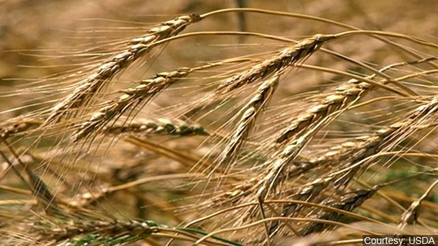 Wheat_Farm_640x360_61031P80-CFYBJ_1546883001372.jpg
