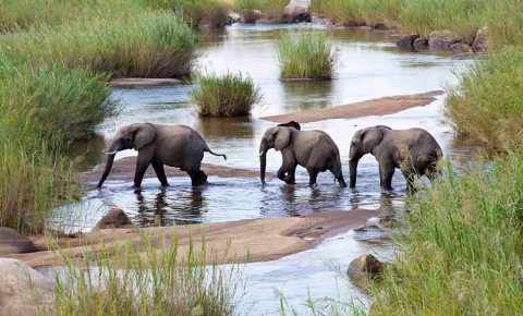 A family of three elephants crossing a river in Africa