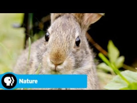 Official Preview | Remarkable Rabbits | NATURE | PBS