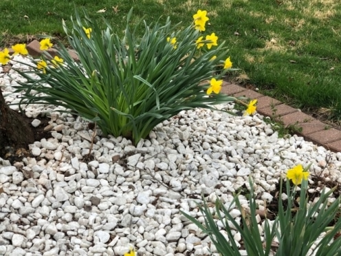 Daffodils and Turtles