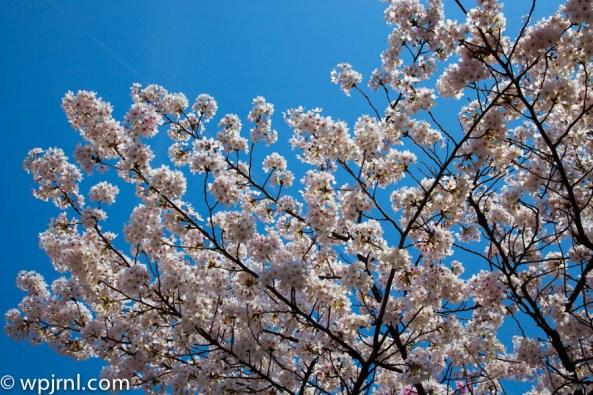 Sakura -