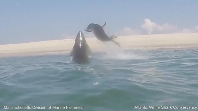 atlantic white shark conservancy seal escape_201951