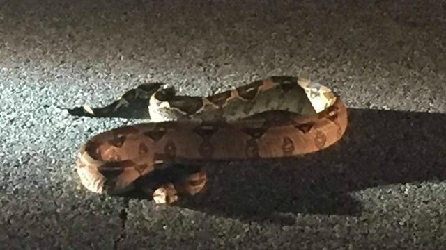 Dartmouth Police capture 6-foot-long boa constrictor_344122