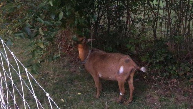 missing goat_525719