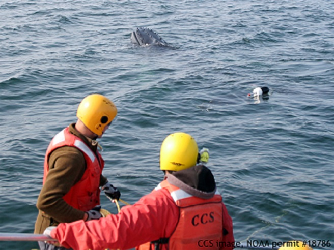 Humpback whale found entangled off of Ballston Beach_550924