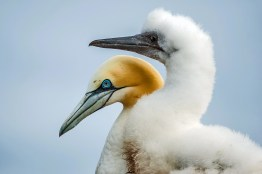 Northern Gannet Adult and Chick (Morus bassanus)