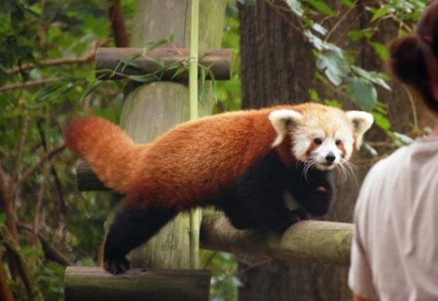 sunny_red_panda_177468