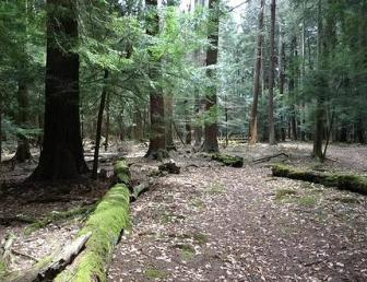 An example of an Old Growth Forest can be found at Cook Forest State Park in Forest County, Pa. - an hour-and-a-half south of Jamestown, NY.