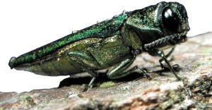 DEC Announces Emerald Ash Borer Awareness Week