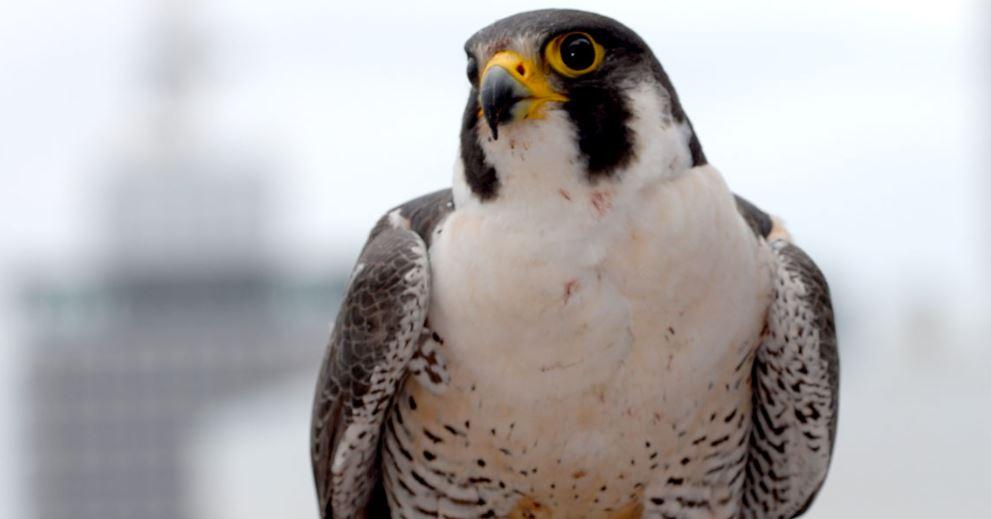 falcon 2_1551700911798.JPG.jpg