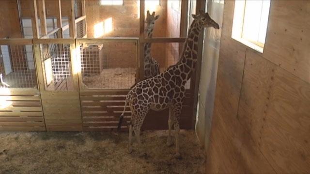 April the Giraffe_366228