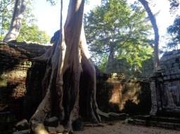 Drzewa w Angkor