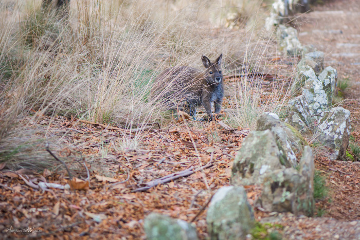 wallaby, cataract gorge, launceston, tasmania