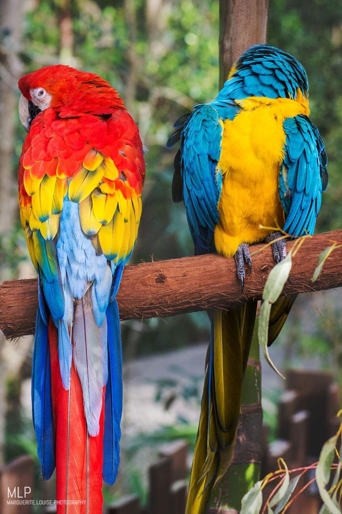 macaw, bird, australia, zoo, australia zoo