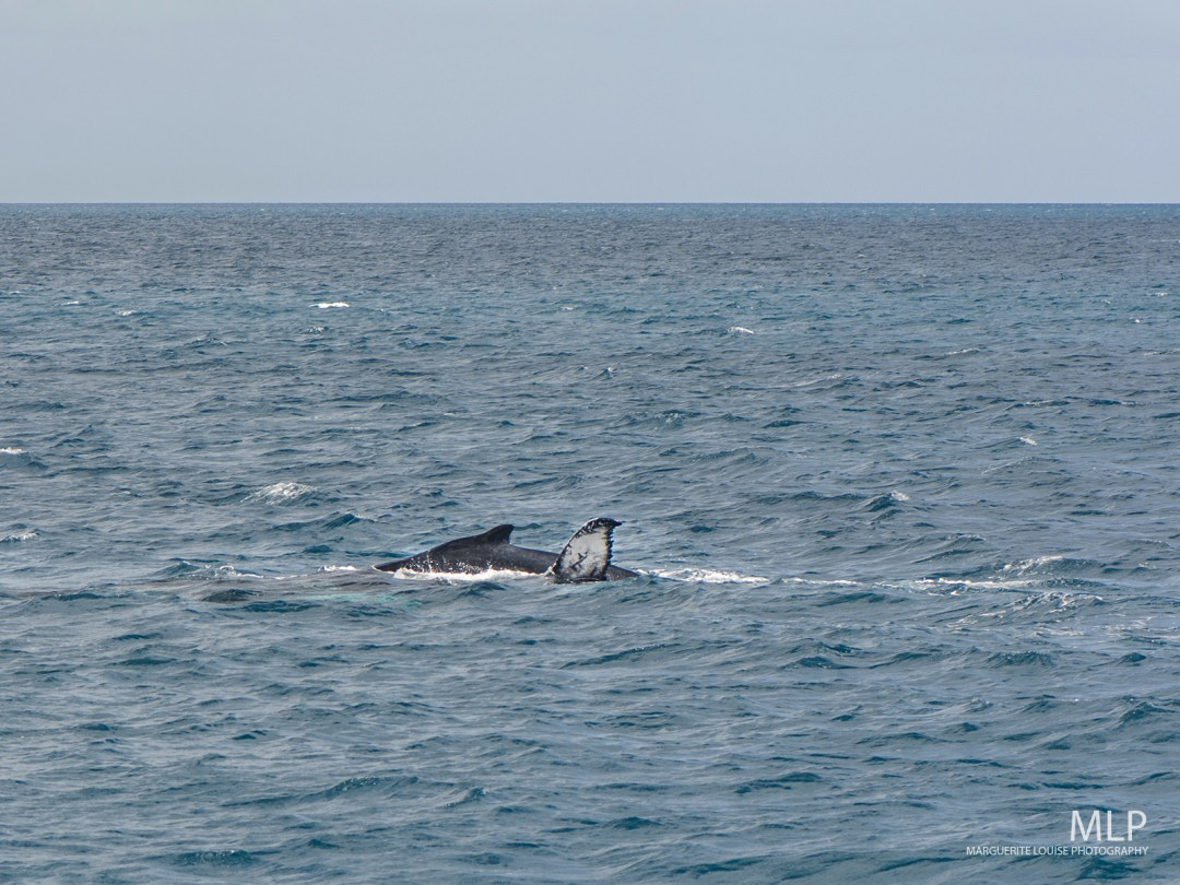 whale, whales, whale watching, hervey bay, queensland, australia,