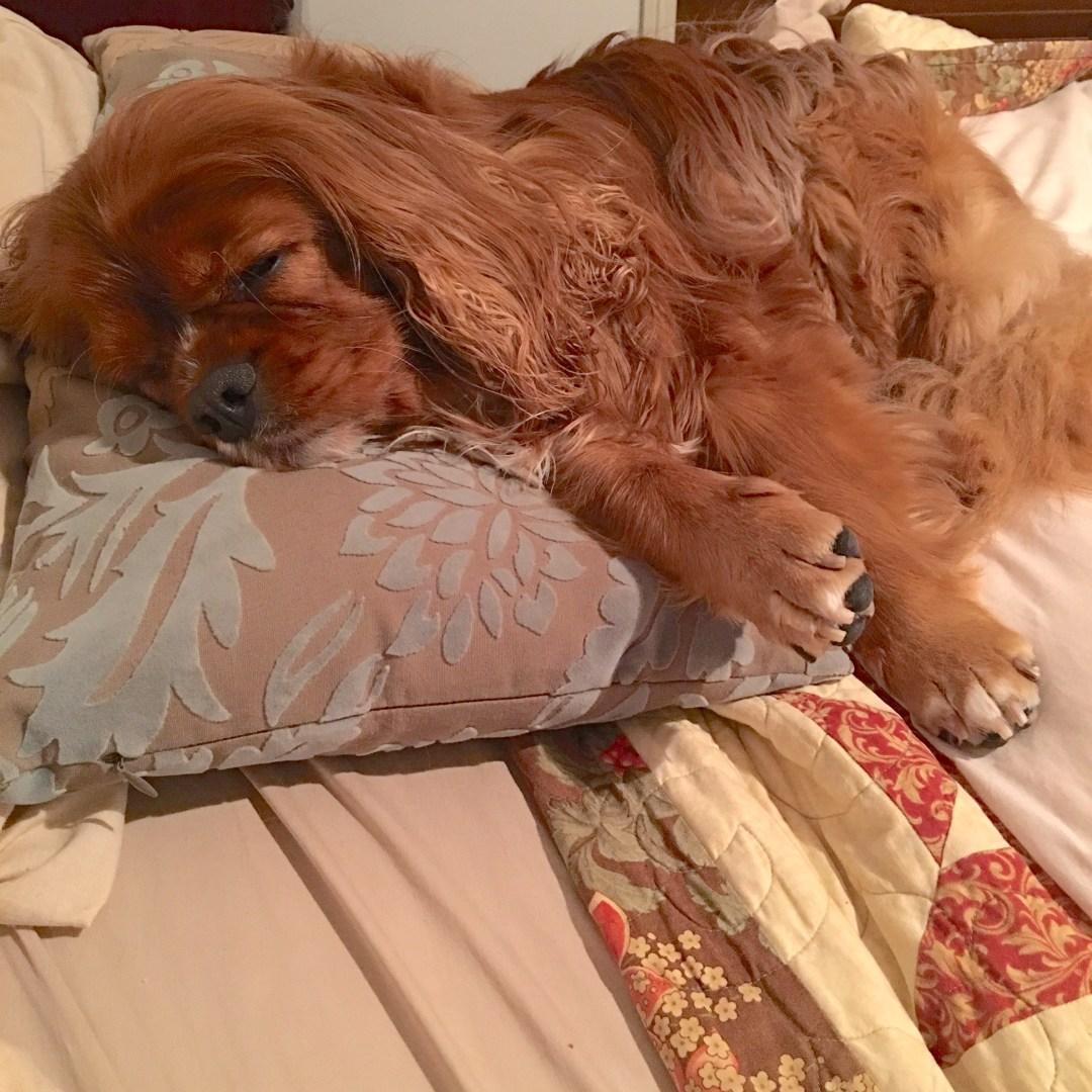 Ava, Cavalier, Cavalier King Charles Spaniel, Dog,