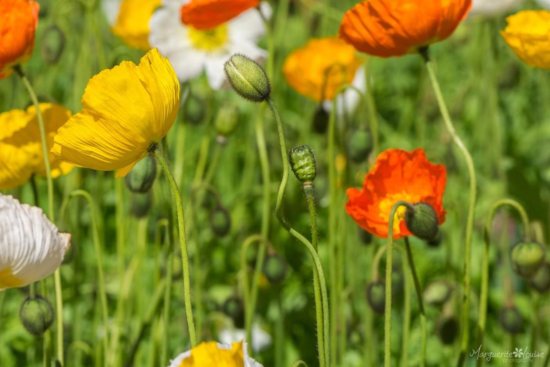 flowers, floriade, spring, canberra, festival