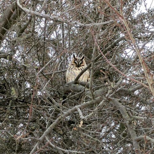Owls in Romania