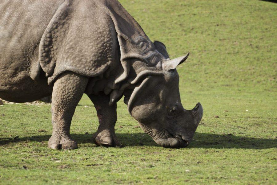 Greater One Horned Rhino Safari Park