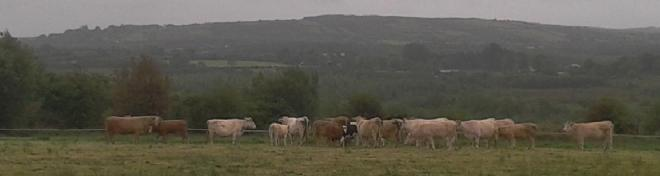 Cattle Graze by the Croppys Grave in Ballinamuck