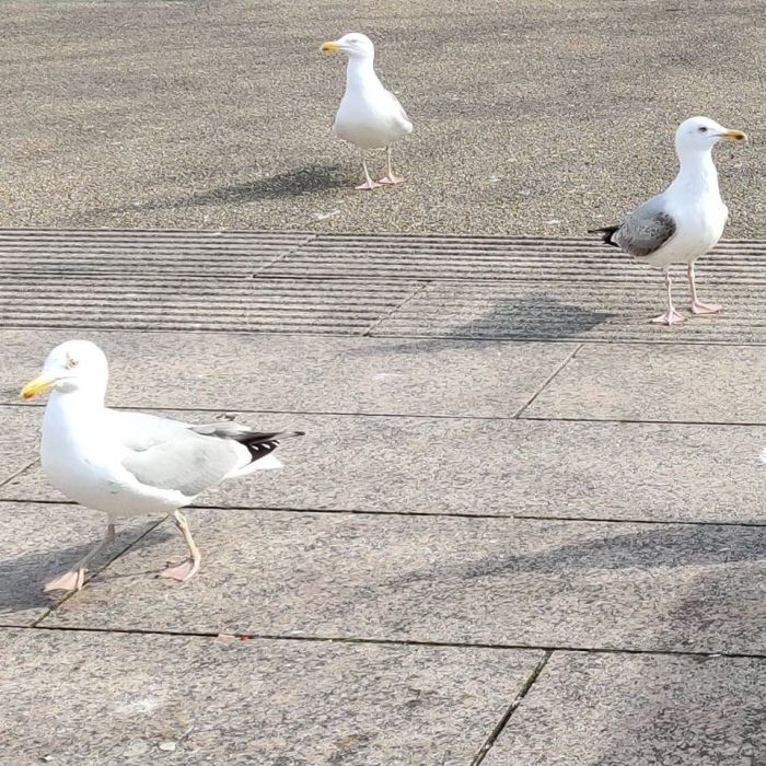 Seagulls on Eyre Square