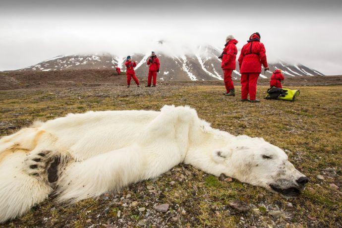 staved-polar-bear