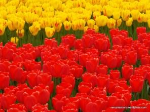 Niesamowicie czerwone tulipany