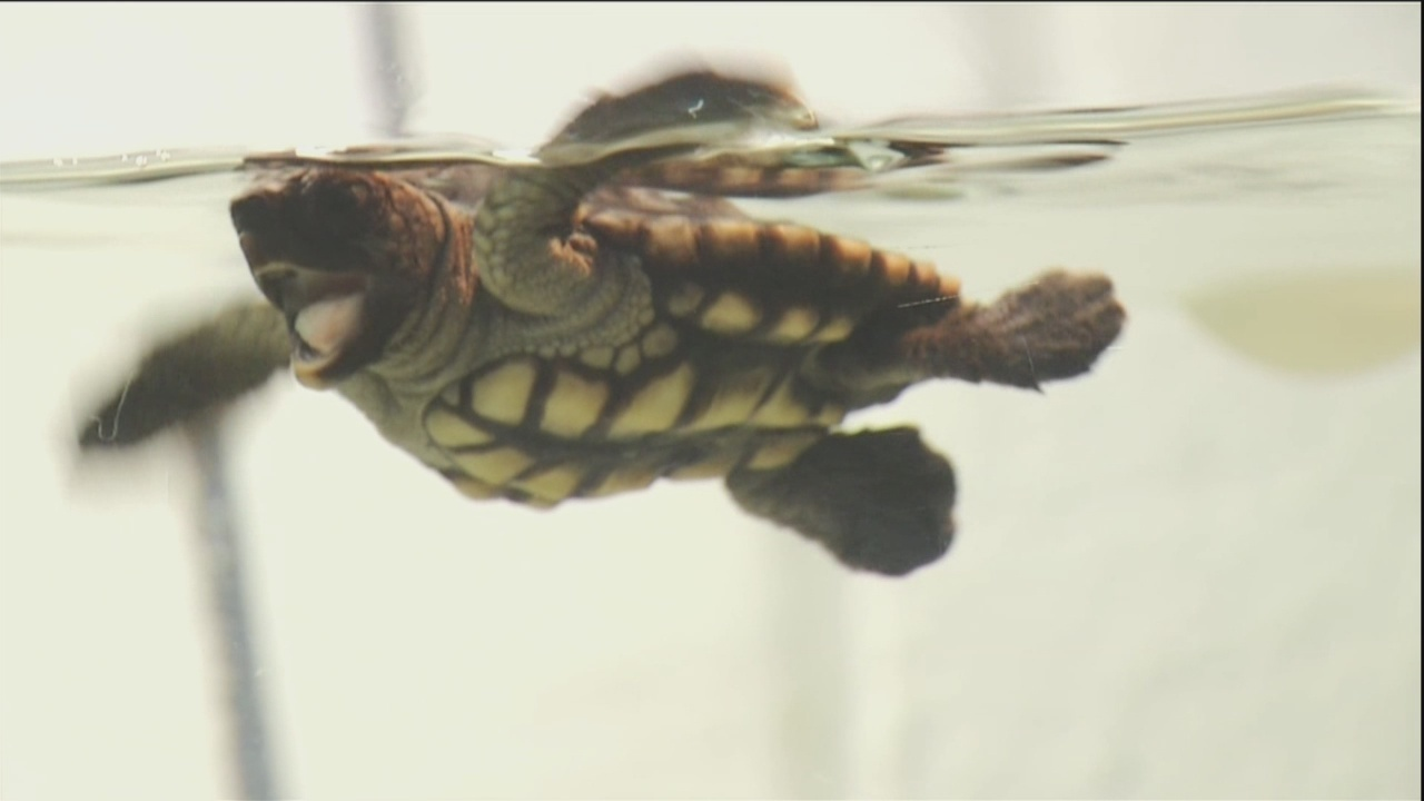 Baby loggerhead gets a name