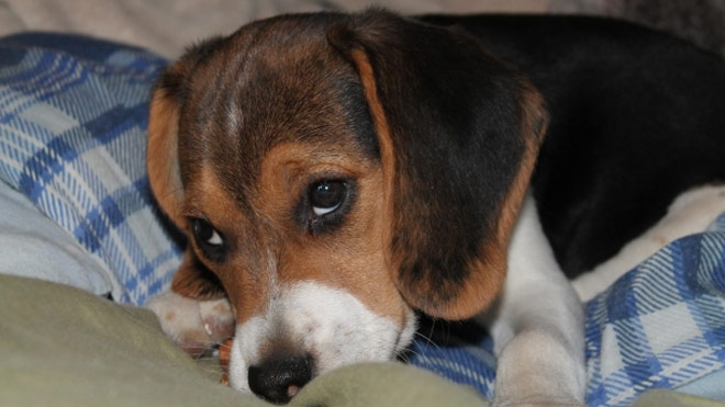 dog beagle cute_119355