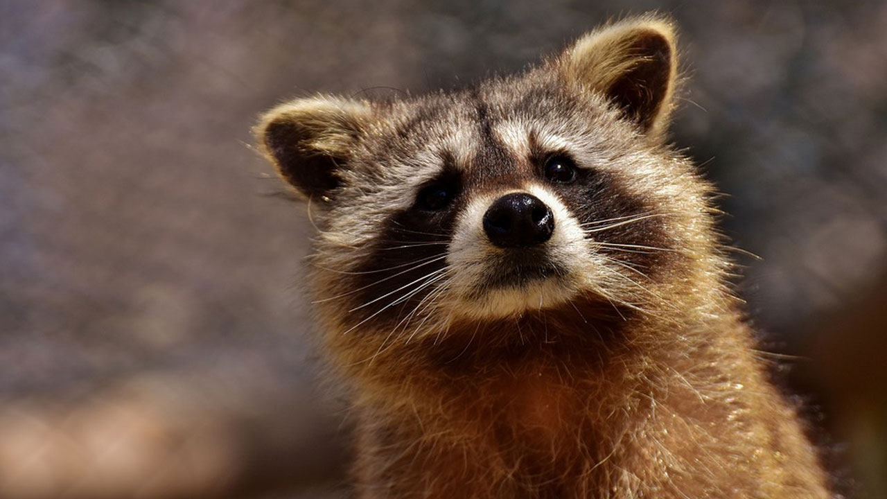 raccoon generi