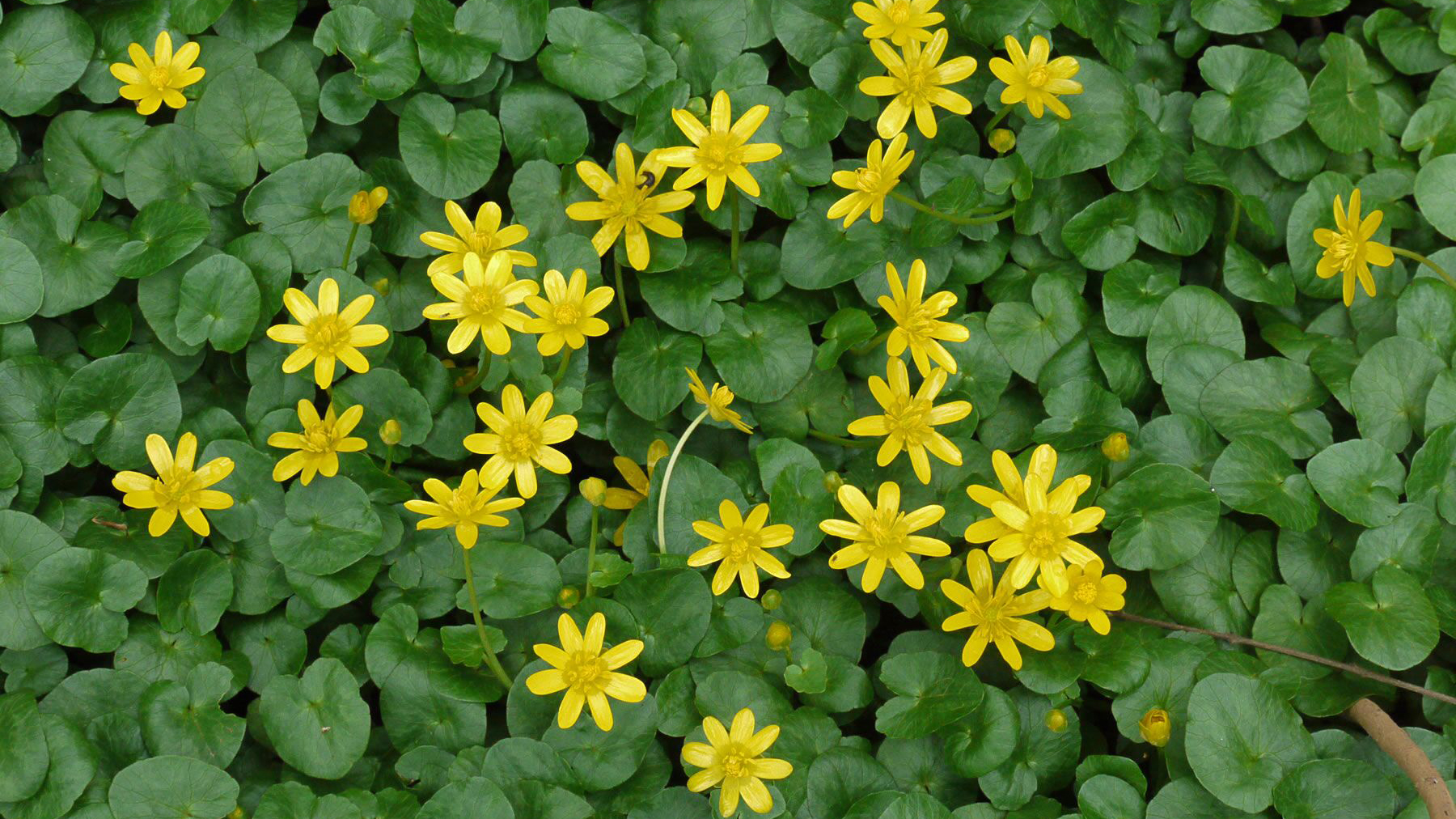 Fig Buttercup 1 WEB CROP_1551825157766.jpg.jpg