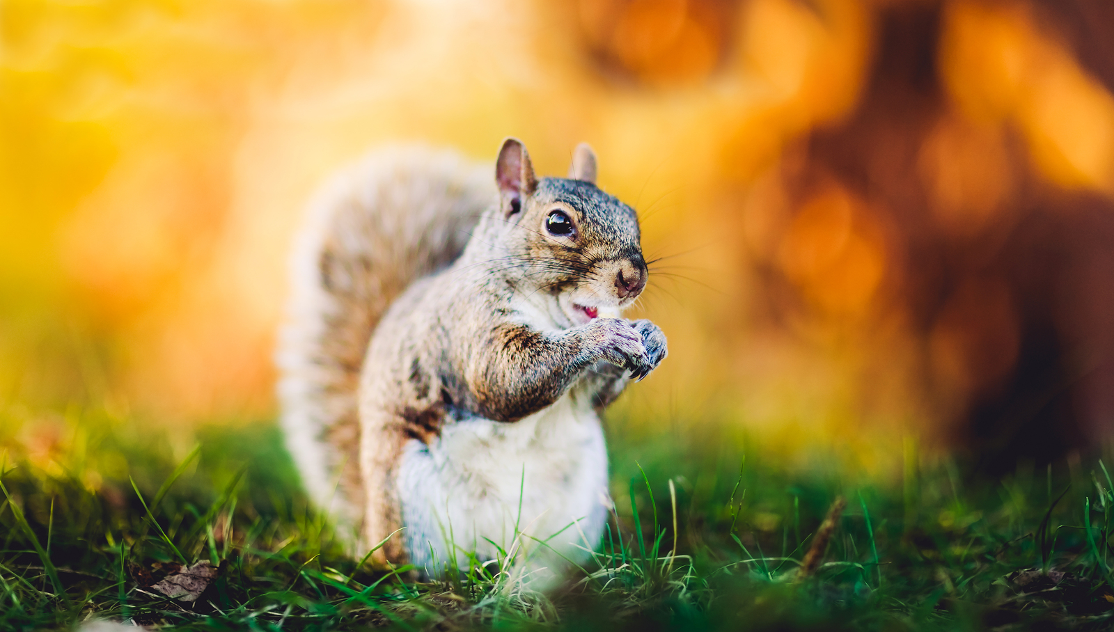 Beautiful Squirrel On Yellow Background And Green Grass. Amazing_1528959417327