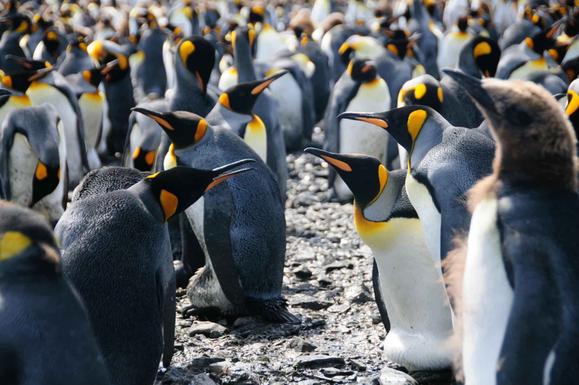 King penguins_1533204580837.jpg.jpg