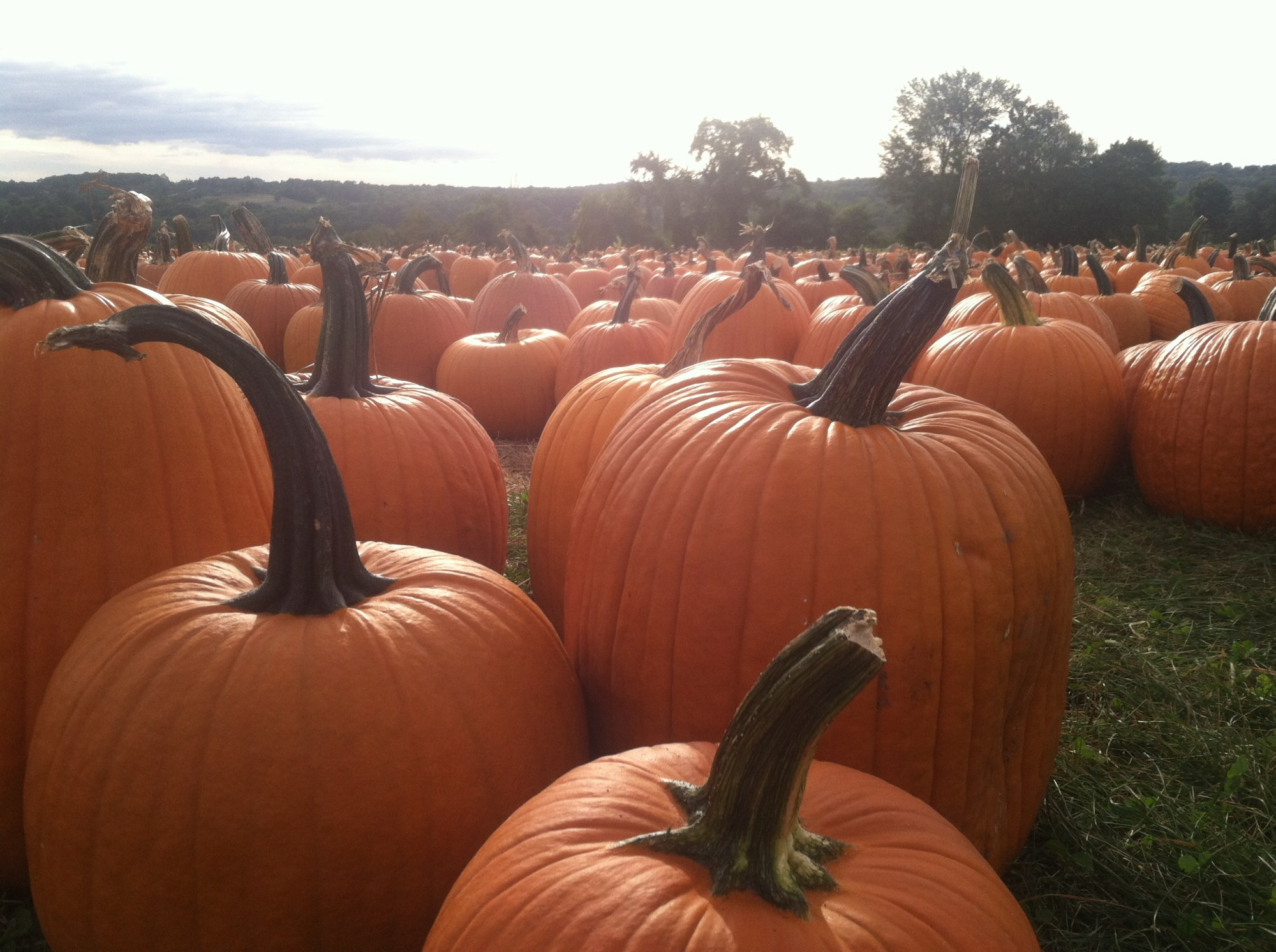 pumpkins at jones farm in shelton by josh scheinblum_174519