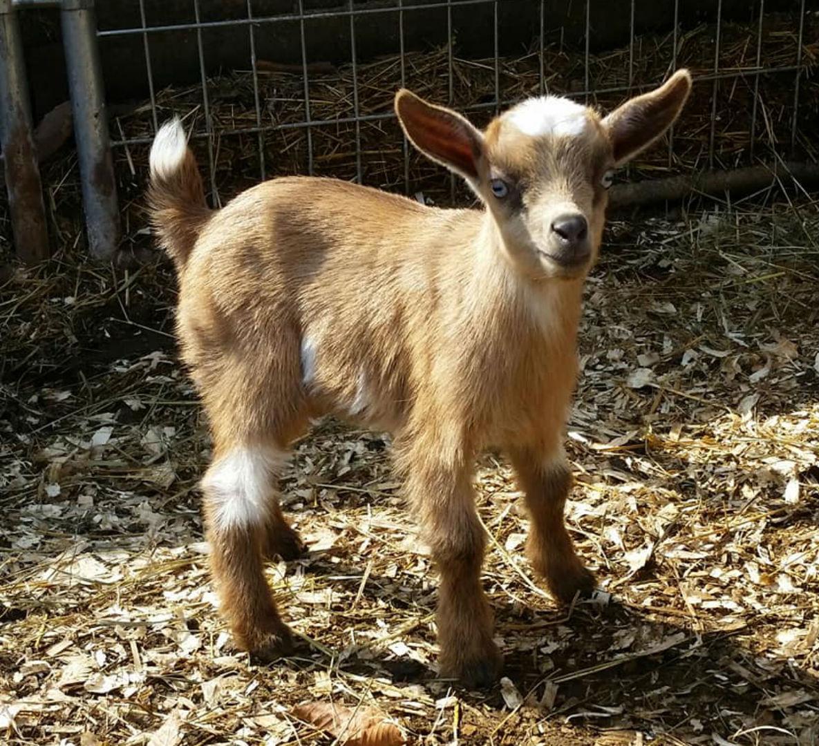goat_1556632174985.jpg