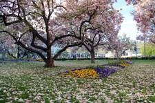 Der kleine Kaisergarten am Hauptbahnhof - ein duftendes Magnolien-Blütenmeer