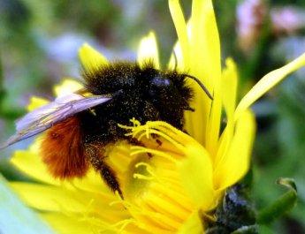 Klimawandel bedroht heimische Bienenarten