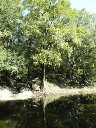 720x960 cypress with knees, in Alapaha, by Bret Wagenhorst, 1 September 2014