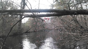 300x169 Red maple bloom 2, in Alapaha deadfalls, by John S. Quarterman, for WWALS.net, 17 January 2015