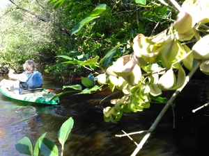 300x225 Leaves like flowers, in BIG Little River Paddle Race, by John S. Quarterman, for WWALS.net, 16 May 2015