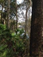 Suwannee River with palmettos