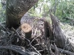 Branch sawed off, 31.0203382, -83.4671020